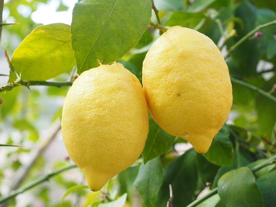 citron sur arbre